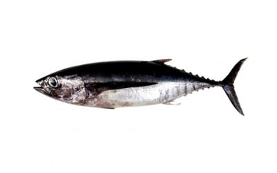 Frozen tuna loin (Thunus alalunga)
