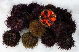 erizos de mar pescado españa