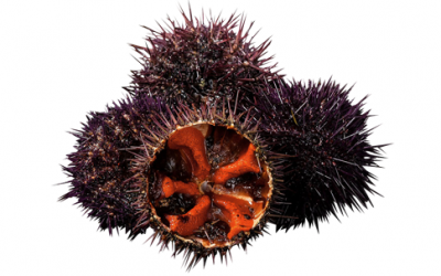 Sea urchin (Paracentrotus lividus)