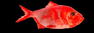 palometa roja asturpesca