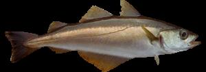 Abadejo pescado fresco asturpesca