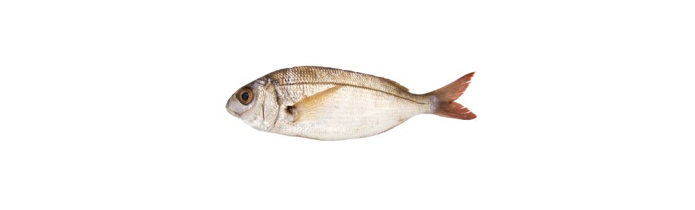 Axillary sea bream (Pagellus acarne)