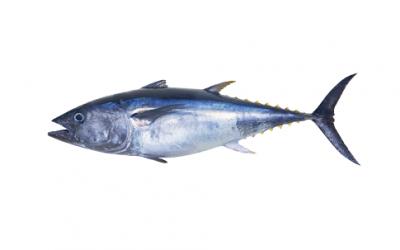 Longe de thon obèse surgelé (Tunnus obesus)