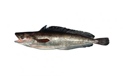 Shore rockling (Gaidropsarus mediterraneus)