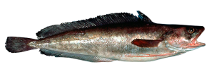 Barbara pescado fresco