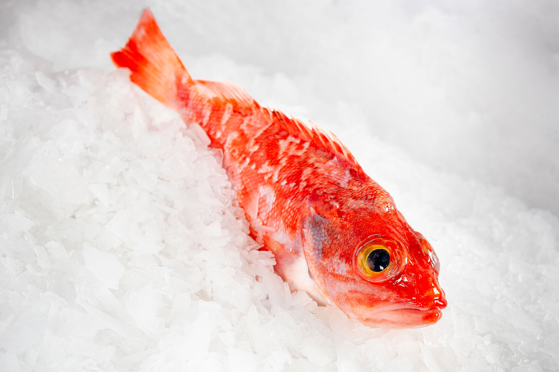 Frozen goatfish/redfish
