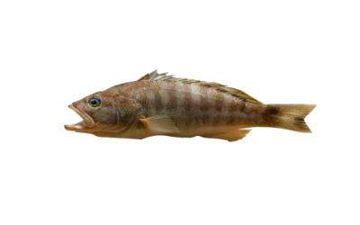 Comber (Serranus cabrilla)