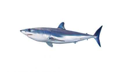Mako shark (Isurus oxyrinchus)