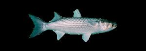muil asturpesca pescado fresco