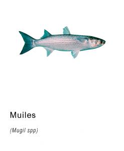 muiles pescado fresco