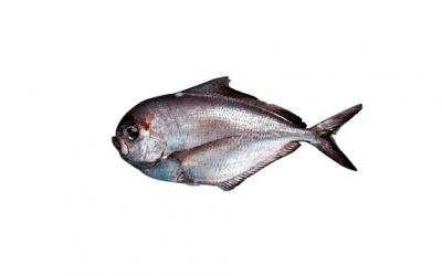 Mugil (Mugil spp)