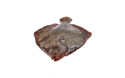 Frozen turbot (Psetta maxima/Scophthalmus maximus)