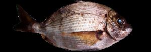 Sargo pescado fresco asturpesca
