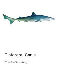 tintorera pescado fresco