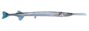 aguja pescado calidad