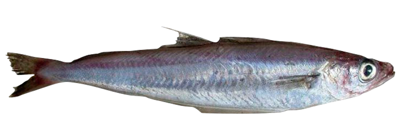 Blue whiting fillet