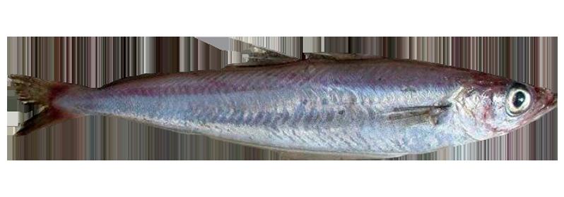 Filet de merlan bleu