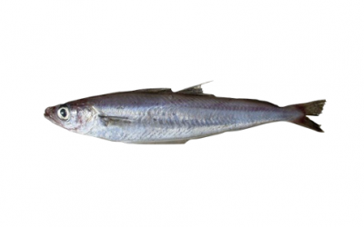 Blue whiting (Micromesistius poutassou)