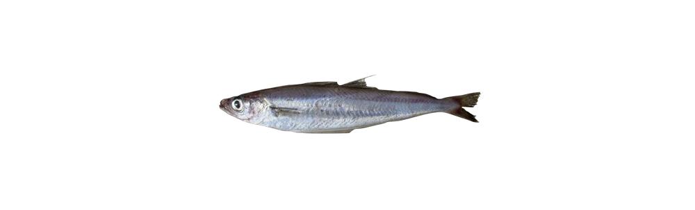 Filet de merlan bleu (Micromesistius poutassou)