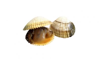 Cockle (Cerastoderma edule)