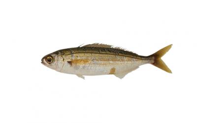 Bogue surgelé (Megaleponirus obtusidens)