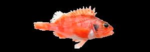 cabra pescado fresco