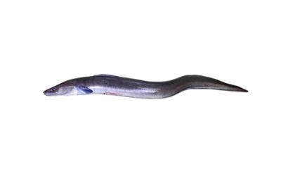 Conger eel (Conger conger)