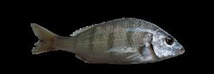 herrera atlantico pescado fresco