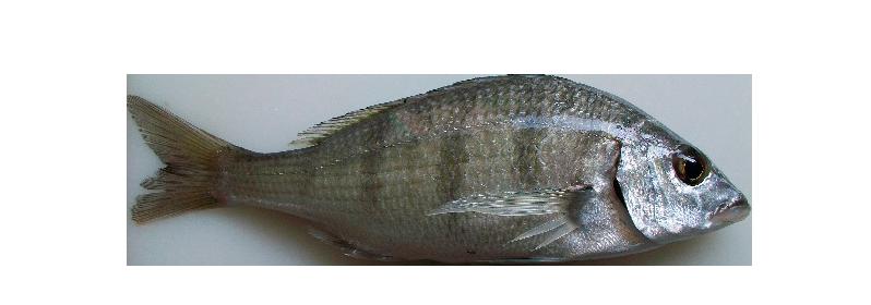 Striped seabream