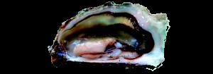 ostras frescas atlanticos