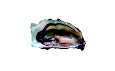 Oysters (Ostrea edulis)