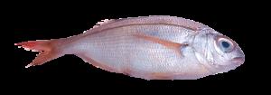 pancheta atlantico pescado fresco