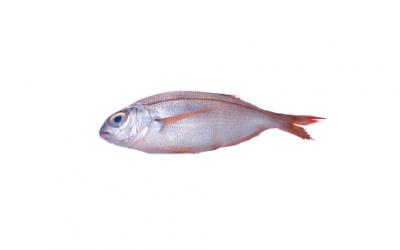 Blackspot seabream (Pagellus bogaraveo)