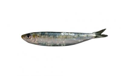 Sardine (Sardina pilchardus)