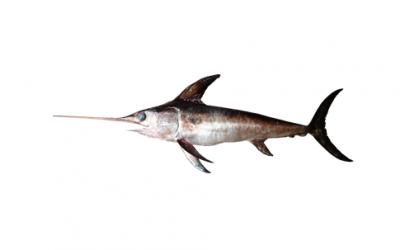 Swordfish loin (Xiphias gladius)