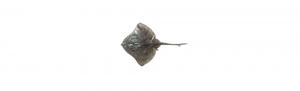 pez raya ifs