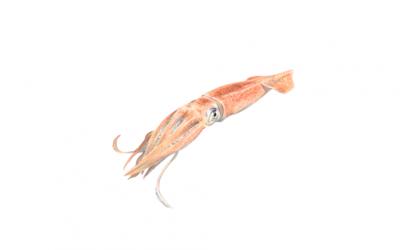 Broadtail skid (Illex illecebrosus)