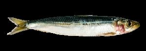 sardina fresca asturias