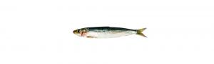 sardina atlantico distribucion