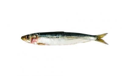 Frozen sardine (Sardina pilchardus)