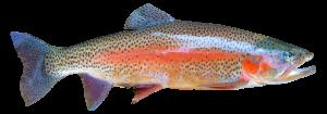 trucha pescado fresco