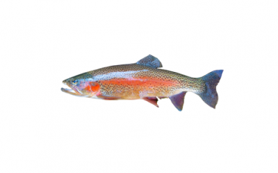 Trout fillet (Salmo trutta)