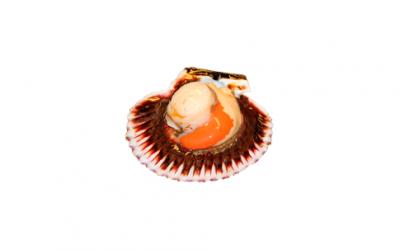 Scallop (Pecten spp)