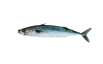 Frozen Atlantic mackerel (Scomber scombrus)