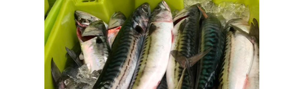 Mackerel wholesaler