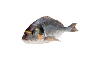 Gilt-head sea bream (Sparus aurata)