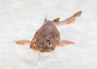 lesser spotted dogfish