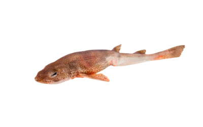 Frozen lesser spotted dogfish (Scyliorhinus canicula)