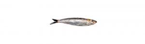 sardina pescado atlantico