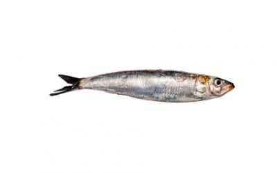 Sardine fillet (Sardina pilchardus)